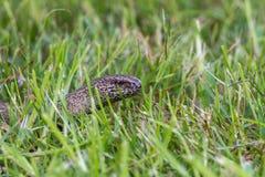 Медленный червь на охоте стоковые фото