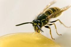 Мед закусок пчелы Стоковые Изображения