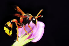 Медианный портрет оси (Dolichovespula) Стоковые Изображения