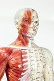 Медицинская кукла Стоковое фото RF