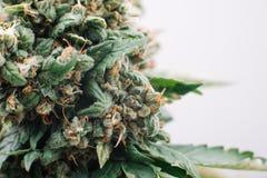 Медицинская марихуана цветет заводы Стоковое фото RF