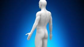 Медицинская развертка рентгеновского снимка - внутренние органы иллюстрация вектора