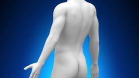 Медицинская развертка рентгеновского снимка - желчный пузырь иллюстрация вектора