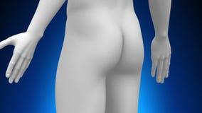 Медицинская развертка рентгеновского снимка - простата иллюстрация штока