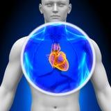 Медицинская развертка рентгеновского снимка - сердце Стоковое Фото