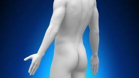 Медицинская развертка рентгеновского снимка - сила воли иллюстрация штока