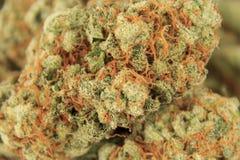 Медицинский крупный план бутона марихуаны, макрос конопли Стоковые Изображения RF