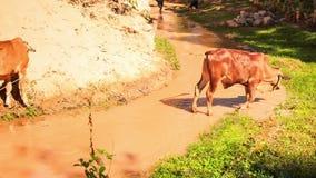 Мелководье быков перекрестное от каменистого банка для того чтобы засевать банк травой акции видеоматериалы