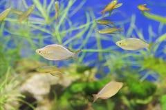Мелководье рыб тихо плавает в аквариуме Стоковые Изображения