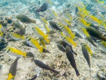 Мелководье черных и желтых рыб Стоковое Изображение RF