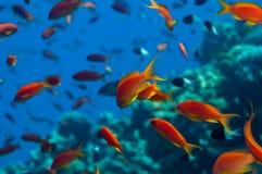 Мелководье Anthias стоковое изображение