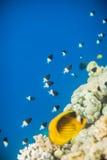 Мелководье dimidiata Chromis Стоковые Фото
