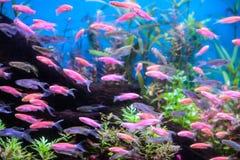 Мелководье goldie моря Стоковые Изображения