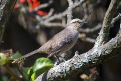 Мелк-browed mockingbird Стоковое Изображение