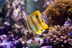 Медные рыбы бабочки диапазона Стоковое Фото