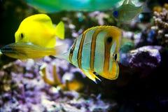 Медные рыбы бабочки диапазона Стоковое Изображение