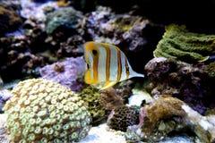 Медные рыбы бабочки диапазона Стоковое фото RF