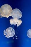Медуза punctata Phyllorhiza Стоковое фото RF