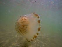 медузы большие Стоковое Изображение