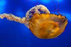 Медузы в аквариуме Стоковое Изображение
