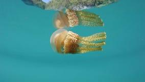 Медузы в отмелом тропическом Тихий Океан сток-видео