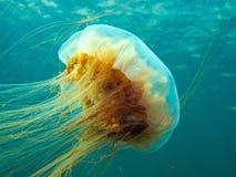 Медузы гривы льва Стоковые Фото