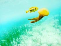 Медузы и радуга папуасския Стоковое фото RF