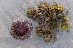 Медузы компаса Стоковые Фотографии RF
