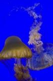 Медузы от аквариума Сан-Франциско Стоковые Изображения RF