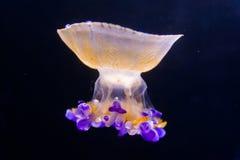 Медузы Стоковое Фото