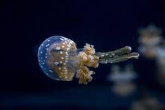 Медузы Стоковая Фотография