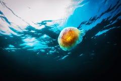 Медузы, capillata Cyanea в море Стоковые Изображения