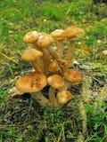 мед agaric Стоковое Изображение RF