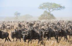 Миграция антилопы гну антилопы пылевоздушные идут саванна проникать табуна Также вызванные антилопы гну, гну или wildebai, a Стоковое фото RF