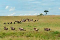 Миграция антилопы гну Стоковая Фотография