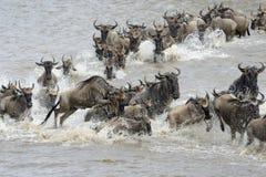 Миграция антилопы гну Стоковые Изображения RF