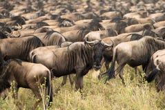 Миграция антилопы гну Стоковые Изображения