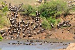 Миграция антилопы гну Стоковое Изображение