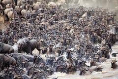 Миграция антилопы гну (taurinus Connochaetes) большая Стоковое Изображение