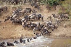 Миграция антилопы гну (taurinus Connochaetes) большая Стоковые Изображения RF