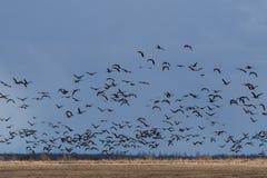 Миграция весны прилетных гусынь в республике Karelia Стоковые Фотографии RF