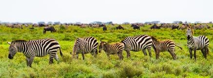 Миграция зебры в Африке Стоковое Фото