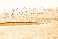 Миграция Waders на заходе солнца, стадах waders летая над песочным моря, красивая блестящая морская вода Теплый тон Сезон зимы стоковая фотография rf