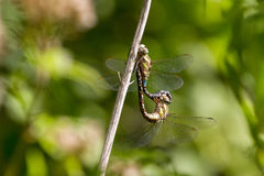 Мигрирующий Dragonfly Aeshna Mixta лоточницы во время сопрягать Стоковые Фото