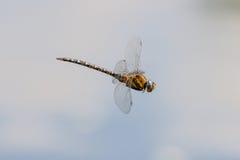 Мигрирующий Dragonfly Aeshna Mixta лоточницы в полете Стоковые Изображения RF