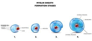 Миелиновая оболочка нейрона иллюстрация штока