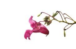 микрорайон цветка колокола на белой предпосылке Стоковое Фото