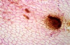 Микрорисунок нового спорофита prothallium лист папоротника, backgroun Стоковое фото RF
