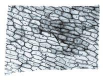 Микрорисунок epidermus лука Стоковые Фото