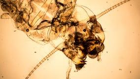 Микроскопическое винтажное фото стиля нимфы подёнки Стоковые Фотографии RF